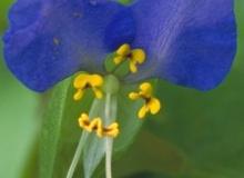 露草は真夏に貴重な青い花
