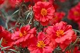 真夏に元気にしてくれる大好きな花 マツバボタン