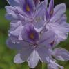 今日の花はホテイアオイ