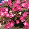 春よ恋!紫陽花の季節